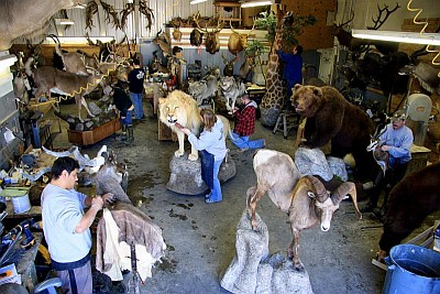 Northeast Taxidermy at work in their shop